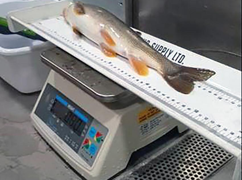 On October 2, 2020, a longnose sucker was the first fish to arrive at the temporary upstream fish passage facility. Biologists sampled, tagged and released the fish two kilometres upstream of the dam site. (October 2020)
